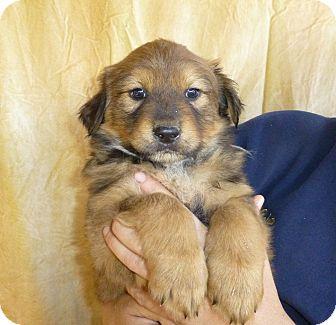 Great Pyrenees/German Shepherd Dog Mix Puppy for adoption in Oviedo, Florida - Atlas