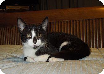 Domestic Mediumhair Kitten for adoption in Tallahassee, Florida - Roscoe