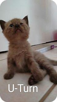 Siamese Kitten for adoption in Fountain Hills, Arizona - U-TURN