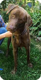 Labrador Retriever Mix Dog for adoption in Brattleboro, Vermont - Baz Beaux