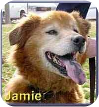 Golden Retriever/Chow Chow Mix Dog for adoption in Aldie, Virginia - Jamie