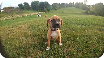 Boxer/Shepherd (Unknown Type) Mix Puppy for adoption in Forest Hill, Maryland - Mia
