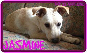 Italian Greyhound/Terrier (Unknown Type, Medium) Mix Dog for adoption in Mount Royal, Quebec - JASMINE