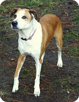 Labrador Retriever Mix Dog for adoption in Libby, Montana - Samson