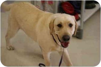 Labrador Retriever Mix Dog for adoption in Cumming, Georgia - Shane