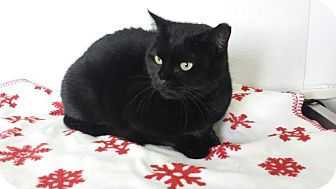 Domestic Shorthair Cat for adoption in China, Michigan - Pancake