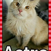 Domestic Longhair Kitten for adoption in Edwards AFB, California - Astro