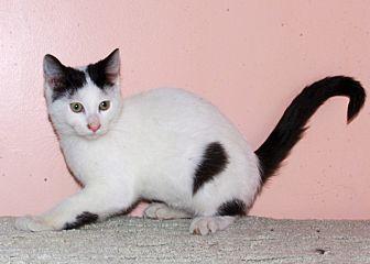 Domestic Shorthair Kitten for adoption in Morganton, North Carolina - Ace