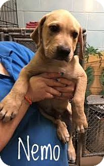 Labrador Retriever Mix Puppy for adoption in Lancaster, Texas - Nemo