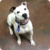 Adopt A Pet :: Tommy - Scottsdale, AZ