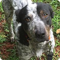 Adopt A Pet :: Merlin - CUMMING, GA