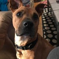 Adopt A Pet :: Brody 2 *Foster Graduate* - Ashland, VA