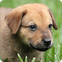 Adopt A Pet :: Westen - Tomball, TX