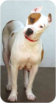 American Pit Bull Terrier Dog for adoption in Marina del Rey, California - Betsy