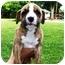 Photo 2 - Boxer Mix Puppy for adoption in Seneca, South Carolina - CHASE