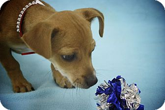 Dachshund/Chihuahua Mix Puppy for adoption in Broomfield, Colorado - Teacher