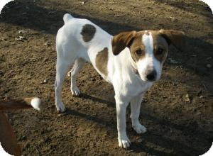 Jack Russell Terrier Mix Dog for adoption in Acushnet, Massachusetts - Jamie