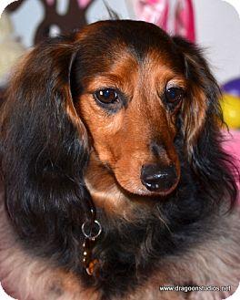 Dachshund Dog for adoption in Spokane, Washington - Jasper