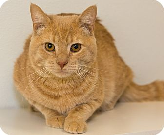 Domestic Shorthair Cat for adoption in Elmwood Park, New Jersey - Tucker