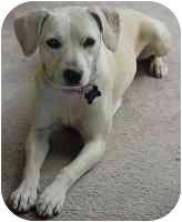 Labrador Retriever/Terrier (Unknown Type, Medium) Mix Dog for adoption in Sacramento, California - Missy - adpt pend!