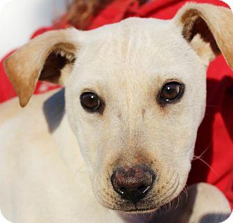 Labrador Retriever Mix Puppy for adoption in Chapel Hill, North Carolina - Bradshaw