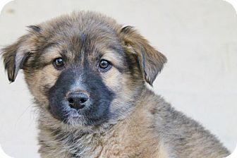 German Shepherd Dog/Alaskan Malamute Mix Puppy for adoption in Marion, North Carolina - Bandit