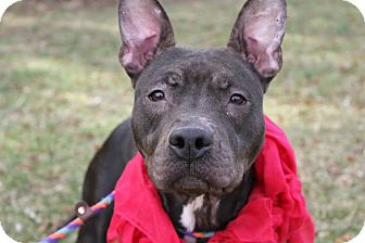 American Staffordshire Terrier Mix Dog for adoption in Mineral, Virginia - Mandy
