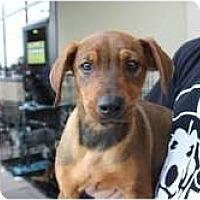 Adopt A Pet :: Marissa - Arlington, TX