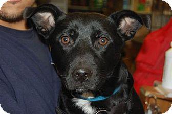 Labrador Retriever Dog for adoption in Brooklyn, New York - Roman