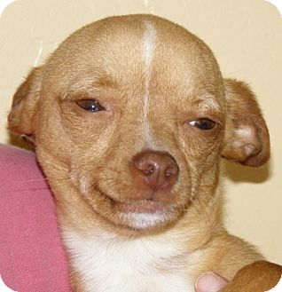 Chihuahua Mix Puppy for adoption in El Cajon, California - Jack