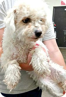 Poodle (Miniature) Dog for adoption in Boulder, Colorado - Maya-ADOPTION PENDING