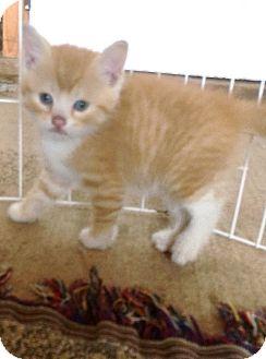 Domestic Shorthair Kitten for adoption in Dumfries, Virginia - Blaze