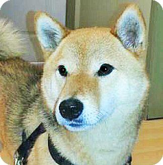 Shiba Inu Dog for adoption in Spokane, Washington - Deeter