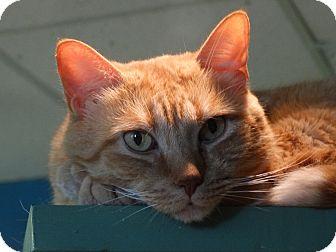 Domestic Shorthair Cat for adoption in Elyria, Ohio - Orangie