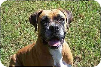 Boxer Dog for adoption in Brentwood, Tennessee - Arwen