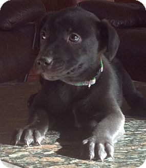 Labrador Retriever Mix Puppy for adoption in Palatine, Illinois - Bashful
