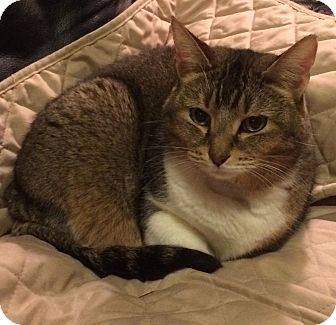 Domestic Shorthair Cat for adoption in Wayland, Michigan - Penny