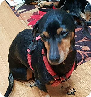 Dachshund Mix Dog for adoption in Andalusia, Pennsylvania - Delia