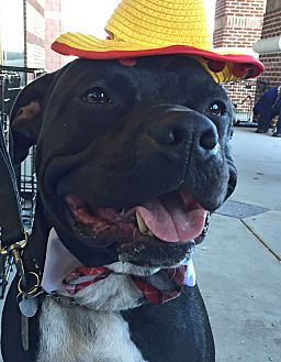Pit Bull Terrier/Labrador Retriever Mix Dog for adoption in Vancouver, British Columbia - A - BUGSY