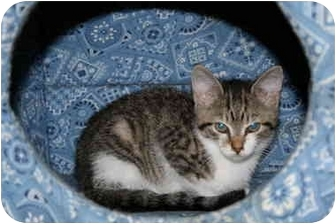 Domestic Shorthair Kitten for adoption in Bristol, Rhode Island - Brown/White Kitten