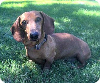 Dachshund Dog for adoption in Forest Ranch, California - Tucker