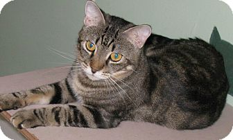 Domestic Shorthair Cat for adoption in Bedford, Virginia - Beaker