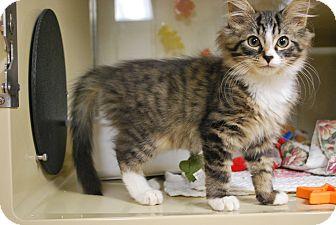 Domestic Mediumhair Kitten for adoption in New Castle, Pennsylvania - Emperor