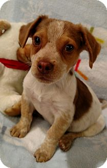 Beagle Mix Puppy for adoption in Homewood, Alabama - Mason
