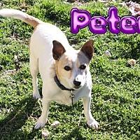 Adopt A Pet :: Petey #1105 - Nixa, MO