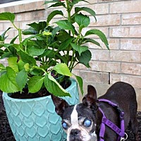 Adopt A Pet :: Poco - Sanger, TX