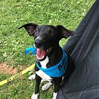 Beagle/Hound (Unknown Type) Mix Puppy for adoption in Charlotte, North Carolina - Sawyer