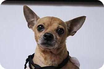 Chihuahua Mix Dog for adoption in Daytona Beach, Florida - Otto