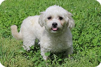 Maltese/Poodle (Miniature) Mix Dog for adoption in Waldorf, Maryland - Walter