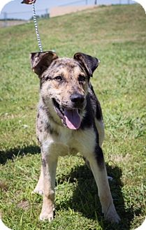 Shepherd (Unknown Type)/Catahoula Leopard Dog Mix Dog for adoption in Coventry, Rhode Island - Nelson